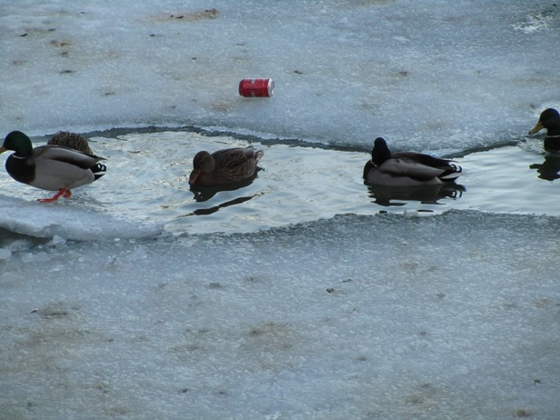 Finnish ducks like beer